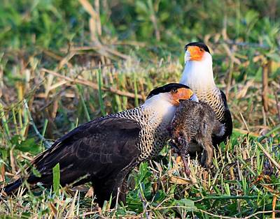 Crested Caracara With Rabbit Poster