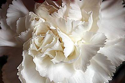 Poster featuring the photograph Crisp Carnation Photo by Deniece Platt