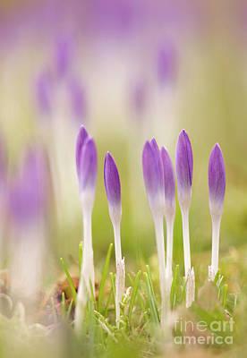 Crocus Flowers (crocus Tommasinianus) Poster by Adrian Bicker