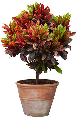Croton Tree In Flowerpot Poster
