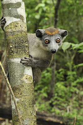 Crowned Lemur Eulemur Coronatus Female Poster by Thomas Marent