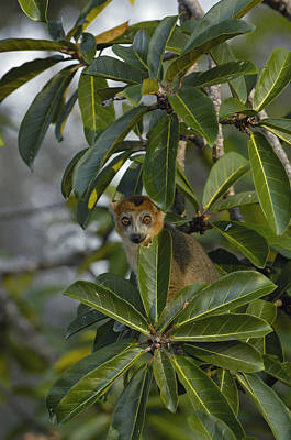Crowned Lemur Eulemur Coronatus Male Poster by Pete Oxford