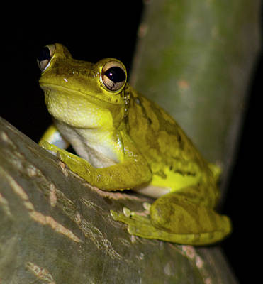 Cuban Tree Frog At Night Poster by Gary Villa