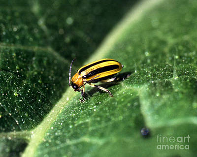 Cucumber Beetle Poster by Science Source