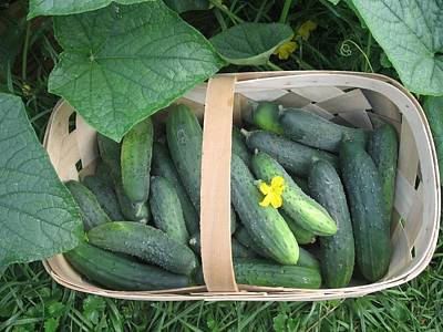 Cucumbers In Garden Basket Poster