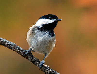 Curious Black-capped Chickadee Poster