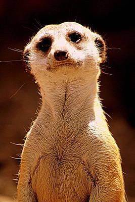 Curious Meerkat Poster