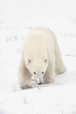Curious Young Polar Bear Ursus Poster