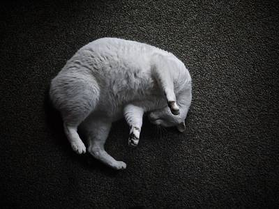 Curled White Cat Poster