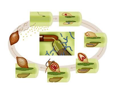 Cyst Nematode Life Cycle, Diagram Poster