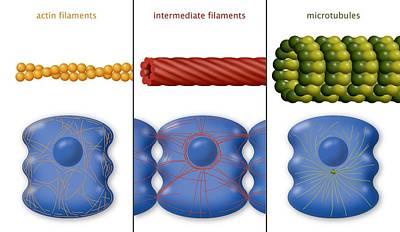 Cytoskeleton Components, Diagram Poster