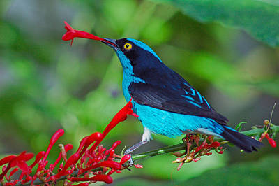 Poster featuring the photograph Dacnis Lineata by Luis Esteves