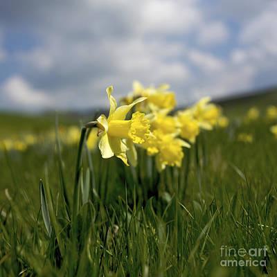Daffodils Poster by Bernard Jaubert