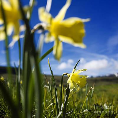 Daffodils In Cezallier. Auvergne. France. Europe Poster by Bernard Jaubert