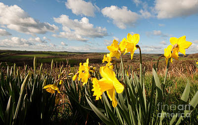 Daffs On Dartmoor Poster