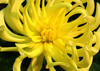 Poster featuring the photograph Dahlia In Yellow by Laurel Talabere