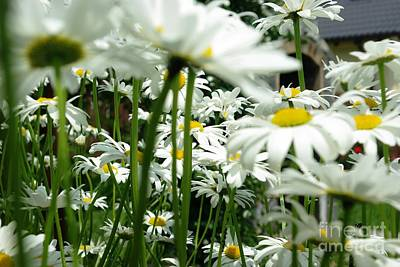Daisies In My Garden Poster by AmaS Art