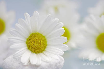 Daisy Sky Poster by Tanja Riedel