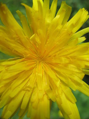 Dandelion Close Up Poster by Kym Backland