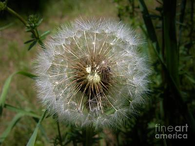 Poster featuring the photograph Dandelion Going To Seed by Sherman Perry