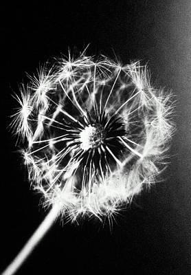 Dandelion Seed Head (taraxacum Officinale), Close-up (b&w) Poster