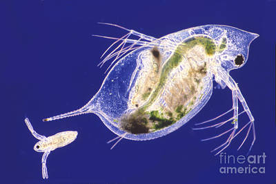 Daphnia Poster by M. I. Walker