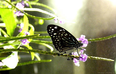 Dark Blue Tiger Butterfly In The Rain Poster