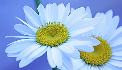 Darling Daisies Poster by Becky Lodes