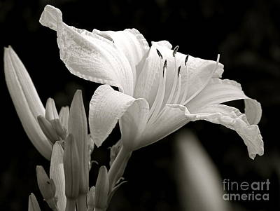Daylily Study In Bw Iv Poster