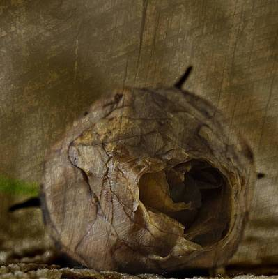 Poster featuring the photograph Dead Rosebud by Steve Purnell