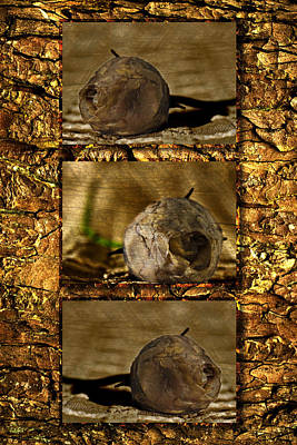 Poster featuring the photograph Dead Rosebud Triptych by Steve Purnell