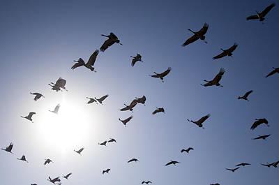 Demoiselle Cranes (anthropoides Virgo) Group Of Birds Flying, In Khichan, Rajasthan, India Poster by Berndt Fischer