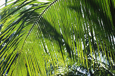 Detail Of A Palm Frond Poster