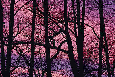 Detail Of Bare Trees Silhouetted Poster by Mattias Klum