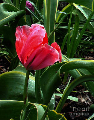Poster featuring the digital art Dew Drops On Red Tulip by Glenna McRae