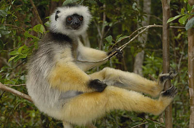 Diademed Sifaka Propithecus Diadema Poster by Pete Oxford