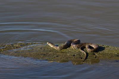 Diamondback Water Snake - 4011 Poster