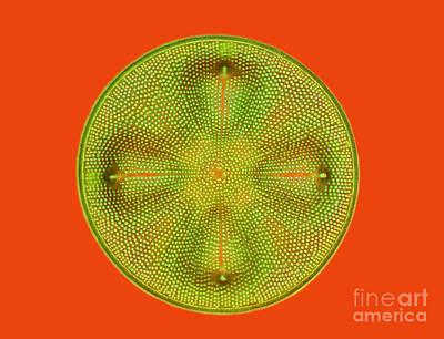 Diatom Aulacodiscus Formosus Poster