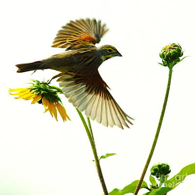 Dickcissel Just Leaving Poster