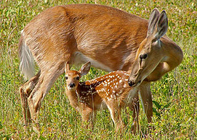 Doe And Fawn Poster by Jack Nevitt