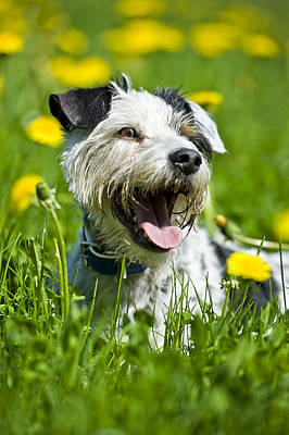 Dog Lying In Meadow Poster by Stock4b-rf