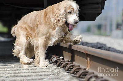Dog Walking Over Railroad Tracks Poster