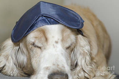 Dog With Sleep Mask Poster