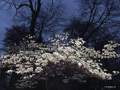 Dogwood At Night Poster by Brian Wallace