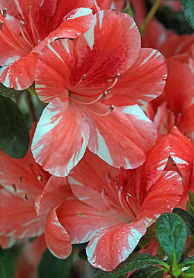 Poster featuring the photograph Dogwood Azalea After Rain by Larry Nieland