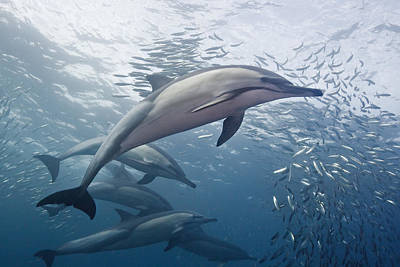 Dolphins And Sardines Poster