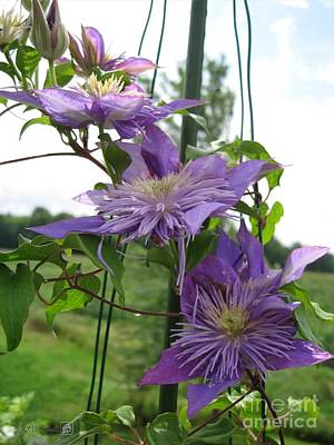 Double Clematis Named Crystal Fountain Poster by J McCombie