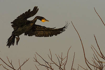 Double Crested Cormorant Coming Poster by Robert Postma