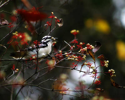 Downy Woodpecker And White Berries Poster