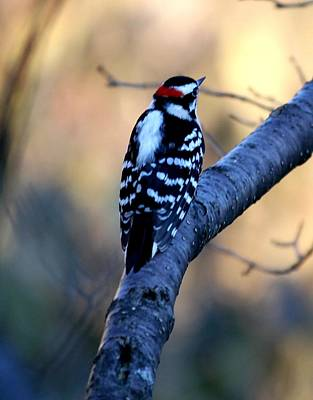 Poster featuring the photograph Downy Woodpecker by Elizabeth Winter